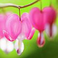 Bleeding Heart Flower by Leslie Banks
