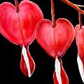 Bleeding Hearts by Carol Blackhurst