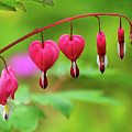 Bleeding Hearts - Lamprocapnos-spectabilis by Susie Peek