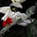 Bleeding Heartwine Flower by Eva Thomas