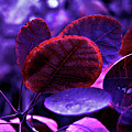 Bleeding Violet Smoke Bush Leaves - Pantone Violet Ec by Silva Wischeropp