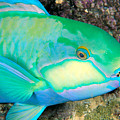 Bleekers Parrot Fish by Ed Robinson - Printscapes