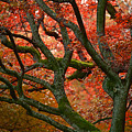 Blood Red Autumn Tree by Sandra Rugina