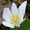 Bloodroot 3 by Tana Reiff