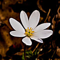 Bloodroot Bloom by Michael Whitaker