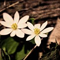 Bloodroot In Spring by Mary Machare