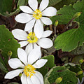 Bloodroot Trio by Emma England