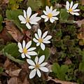 Bloodroot Wildflowers #1203 by Irwin Barrett