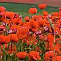 Bloom Red Poppy Field by Heiko Koehrer-Wagner