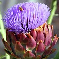 Bloomin Artichoke by Chris Delucchi