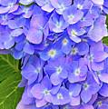 Blooming Blue Hydrangea by Regina Geoghan