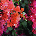 Blooming Bougainvillea- Photography By Linda Woods by Linda Woods