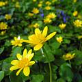Blooming Buttercups. by Tatyana Gundar