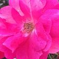 Blooming by Carolynn Trog
