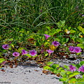 Blooming Cross Vines Along The Beach by Barbara Bowen