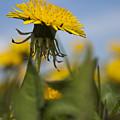 Blooming Dandelion Flower by Dan Radi
