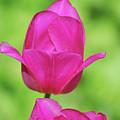 Blooming Dark Pink Tulip Flower Blossom In A Garden by DejaVu Designs
