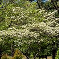 Blooming Dogwood by Bob Phillips