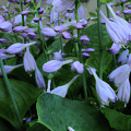 Blooming Hosta by Mike Eingle