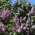 Blooming Lilacs by Carol Groenen