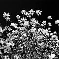 Blooming Magnolia Tree by Elena Elisseeva