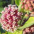 Blooming Milkweed Flowers by Kent Lorentzen
