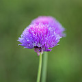 Blooming Onion Chives by Yana Reint