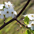 Blooming Pear Tree by Carolyn Fletcher