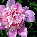 Blooming Peony by Belinda Stucki