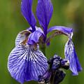 Blooming Purple Iris by Vladi Alon