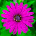 Blooming Purple by Robert Edgar