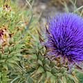 Blooming Purple Teasel by Robert VanDerWal
