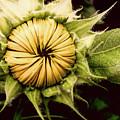 Blooming Sunflower by Chuck Hatcher
