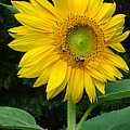Blooming Sunflower Closeup by Natalie Holland