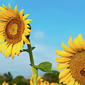 Blooming Sunflower In Blue Sky by Dennis Dame