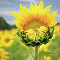 Blooming Sunflower by Natalie Rotman Cote