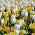 Blooming Tulips As Far As The Eye Can See by DejaVu Designs