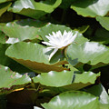 Blooming Waterlily  by Ruth Housley