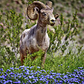 Blooms And Bighorn In Anza Borrego Desert State Park  by Sam Antonio Photography
