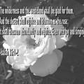 Blossom As The Rose by Pharris Art