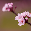 Blossom by Clare Bambers
