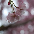 Blossom In Pink by Peter  McIntosh