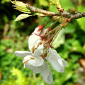Blossom by Mark Stevenson