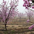 Blossom Trail by Vincent Bonafede