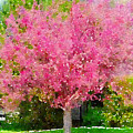 Blossoming Crabapple Tree by Donald S Hall