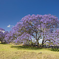 Blossoming Jacaranda by Dave Fleetham - Printscapes