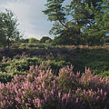 Blossoming Jutlandic Heath  by Wedigo Ferchland
