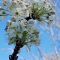 Blossoming Pear by Maria Urso
