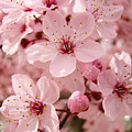 Blossoms Art Prints 63 Pink Blossoms Spring Tree Blossoms by Baslee Troutman