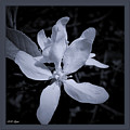 Blossoms In Black And White by Debra Lynch